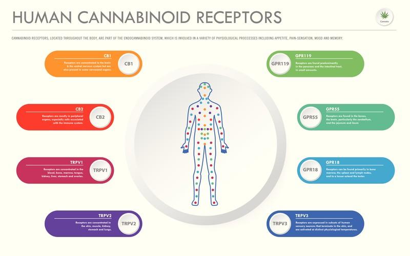 Cannabinoid-Rezeptoren in das Endocannabinoid-System