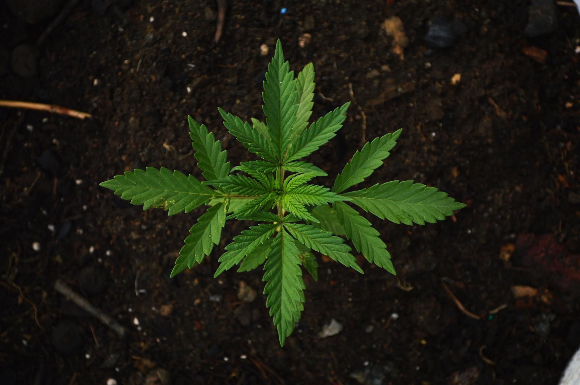 Cannabis sativa Heilpflanze mit Cannabinoiden